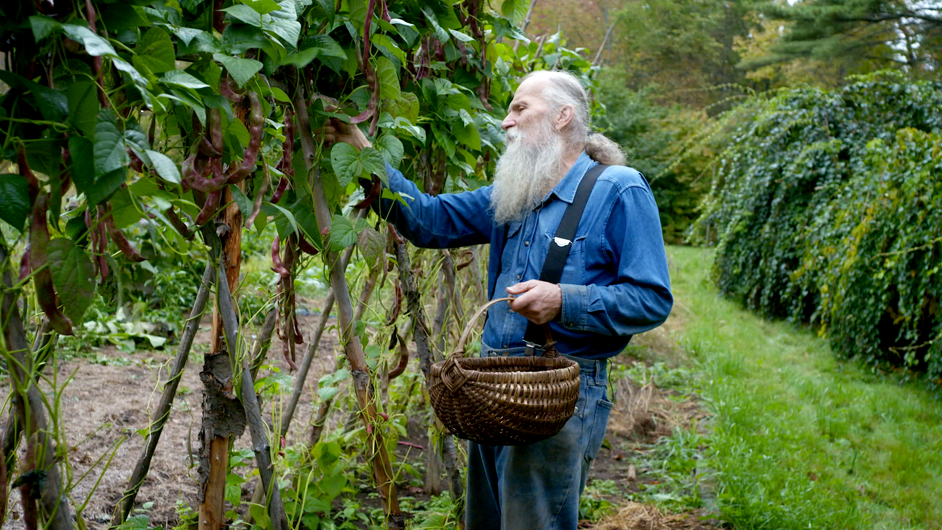 Will harvesting Jimenez Beans